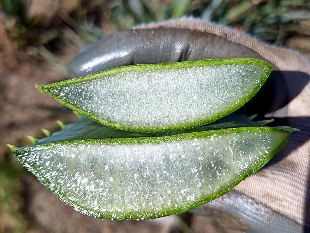 dr-aloes-aloe-arborescens